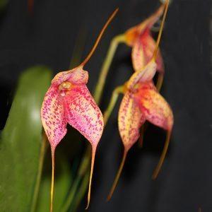 Masdevallia orchids
