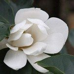 Michelia Species and Cultivars – Wholesale