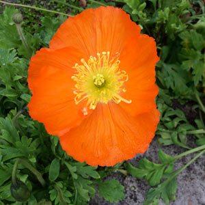 Orange Icelandic Poppy