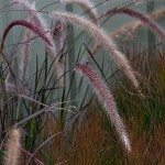 Ornamental Grasses For Landscaping