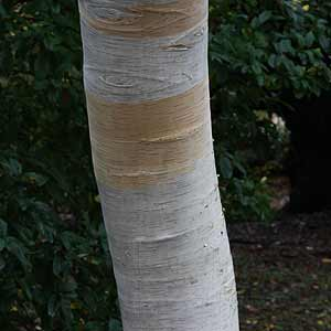 ornamental-tree-trunk