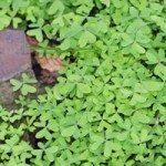 How to Control Oxalis