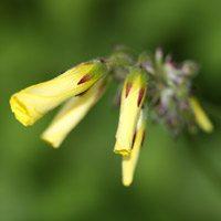 Oxalis weed flower