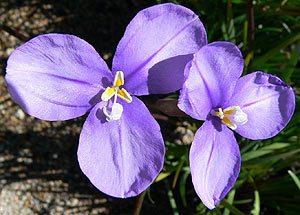 Patersonia occidentalis