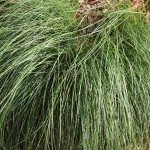 Poa – Wholesale Nurseries
