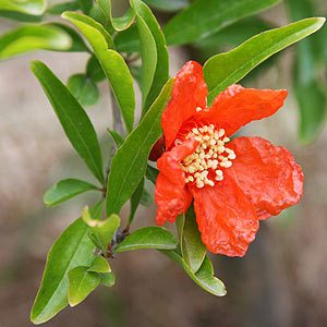 Pomegranate tree in flower