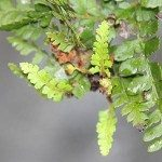 Propagating Ferns from Bulbils