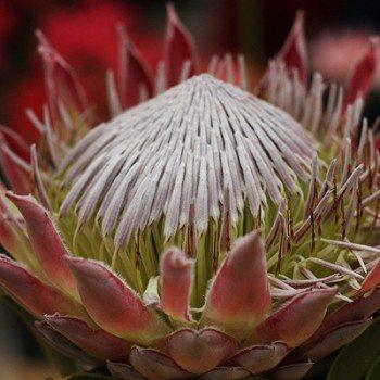Protea cyranoides King Protea