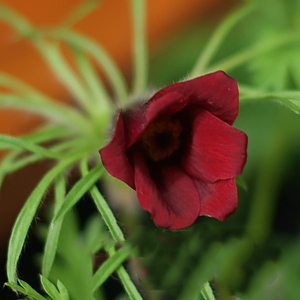 Pulsatilla vulgaris - Red Form