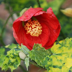 Red Flowering Chinese Lantern
