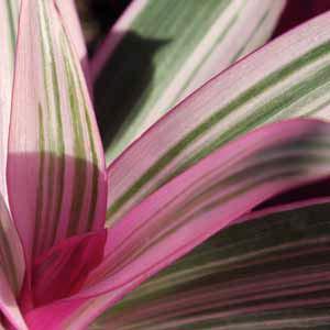 rhoeo stripe me pink