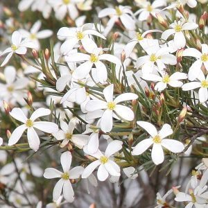 Ricinocarpus pinifolius - The Wedding Bush