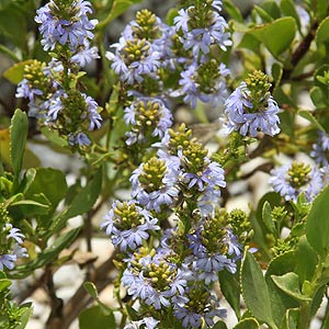 Scaevola crassifolia 'Thick-leaved Fan Flower'
