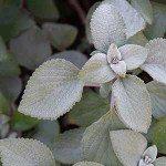 Silver foliage Plants