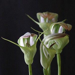 Species orchid Pterostylis baptistii