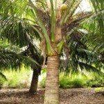 Dwarf Coconuts Cocos nucifera