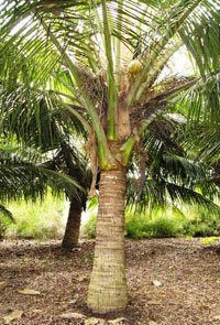 Dwarf Coconut Palm
