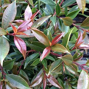 Syzygium Winter lights