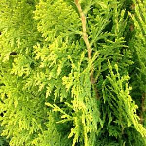 Thuja orientalis the Bookleaf Conifer