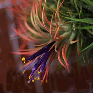 Tillandsia plant in flower