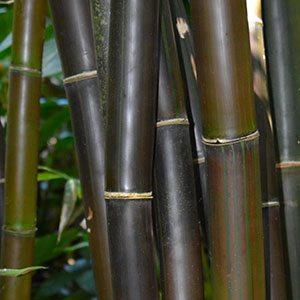 Timor Giant Black Bamboo