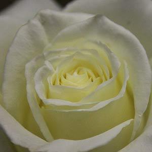 Tineke - White Rose