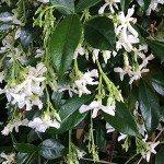 Trachelospermum jasminoides – Wholesale Nurseries