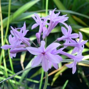 Tulbaghia violacea- Society Garlic