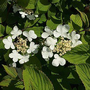 Viburnum variety - V. plicatum tormentosum