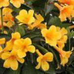 Vireya rhododendrons – Wholesale