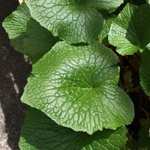 Wasabi japonica - The Wasabi plant