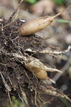 Yacon tubers and rhizomes