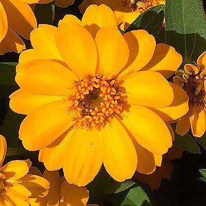 Yellow Flowering Zinnia