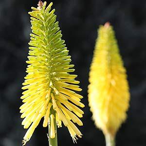 Yellow Flowering Kniphofia