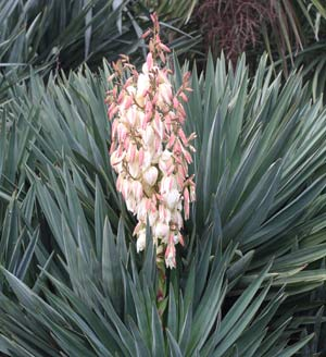 Yucca Gloriosa - Mature plant in flower