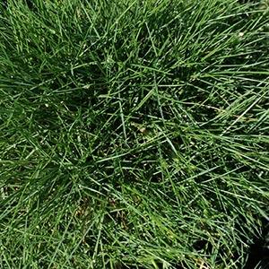 Zoysia tenuifolia - No Mow Grass