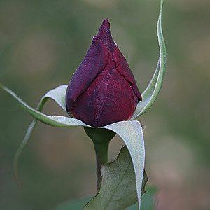 Papa Meilland Rose in Bud
