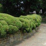 Choosing Hedging Plants