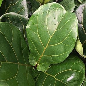Ficus lyrata - The Fiddle Leafed Fig