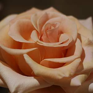 Marilyn Monroe Rose