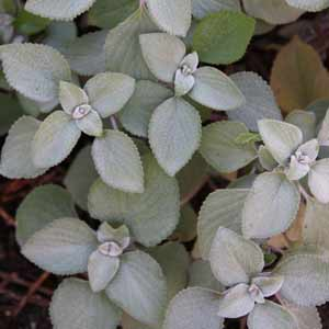 Plectranthus argentatus - Silver Foliage Ground Cover