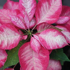 Poinsettia Pink and White Variety
