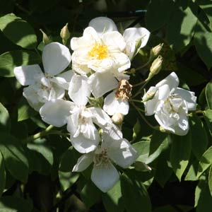 Rosa moschata var. nastarana The Persian Musk Rose