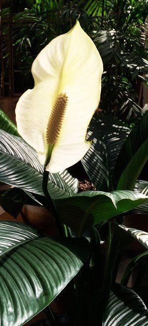 Spathiphyllum floribundum the Giant Peace Lily