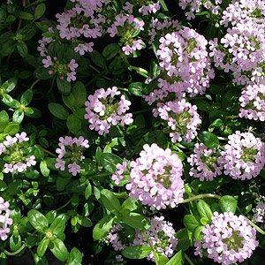 Thymus longicaulis  Creeping Thyme
