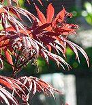 Acer Palmatum Trompenberg
