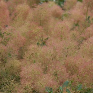 Cotinus coggygria 'Young Lady'  - Smoke Bush