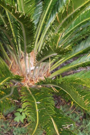 Easy Care Cycads