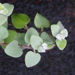 Helichrysum petiolare