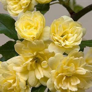 Lady Banks Rose - Rosa Banksiae 'lutea'